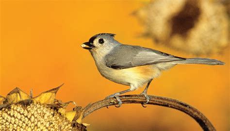 titmice wild birds unlimited wild birds unlimited