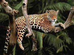 What Do Jaguars Eat In The Rainforest Top 10 Facts About Jaguars Rainforest Cruises