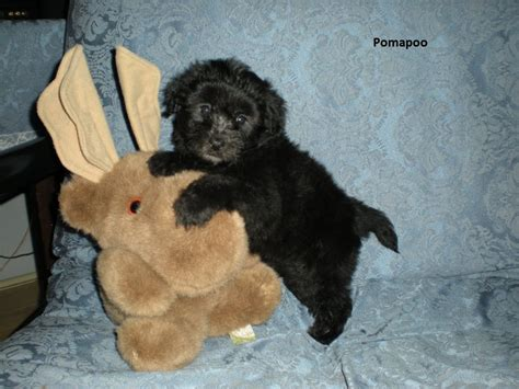 black pomeranian poodle mix pomapoo pomeranian poodle mix info temperament puppies pictures