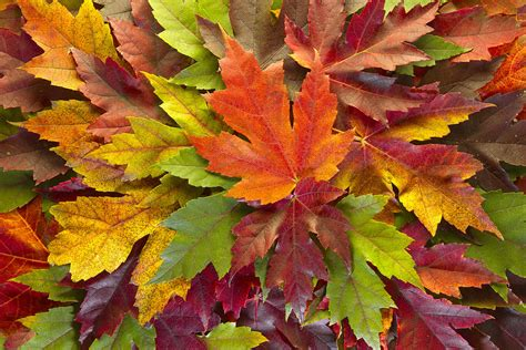 fall leaf colors maple leaves mixed fall colors background photograph by