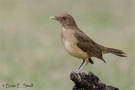 clay colored thrush brian e small bird photography