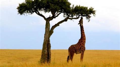 imagenes de jirafas comiendo hojas 191 cu 225 nto mide una jirafa