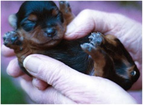 yorkie newborn puppies new born yorkie puppy jpg