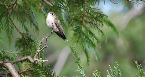 hummingbird tree care myideasbedroom com