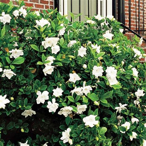 Gardenia Shrub Proof Gardenia For Sale The Tree Center