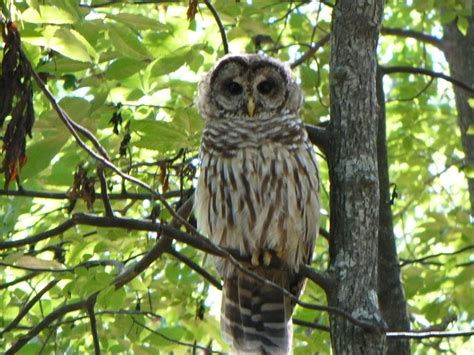 huntsville al owl in monte sano state park photo