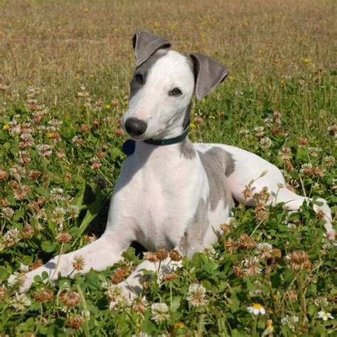whippet breed whippet puppy whippet breed information