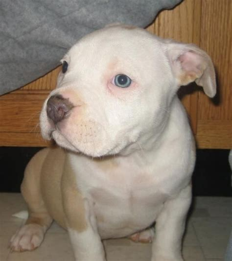 pit bull terrier puppy 52 best american pitbull images on pinterest