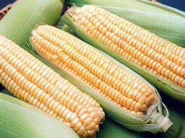 Bibit Jagung Pakan Ternak peluang bisnis budidaya jagung masih tetap untung
