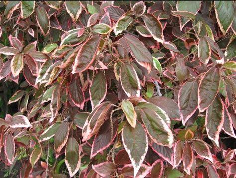 jenis jenis tanaman hias daun merah  menggoda mata