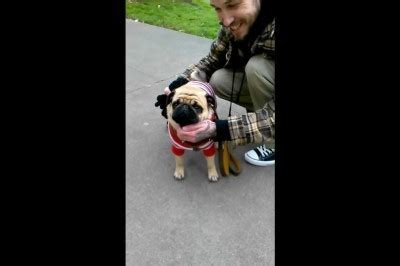 do pugs go blind tucker the pug s fashion sense is offended mighty pugs
