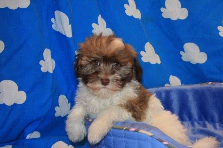 havanese puppies in nj havanese puppy photos havanese puppy breeders in new york akc registered puppies