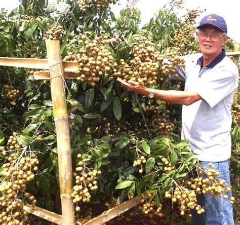 Bibit Kelengkeng Rasa Durian tanaman kelengkeng itoh bibitbunga