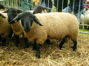 sau decken fil moutons suffolk jpg