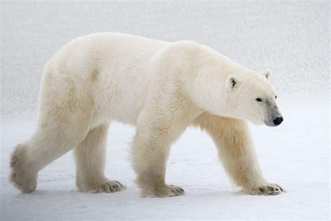 guest polar polar bears churchill polar bears