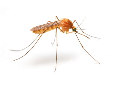 do mosquitoes have teeth mosquitno