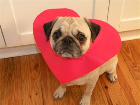 pug hearts pug and photo and wallpaper beautiful pug and pictures