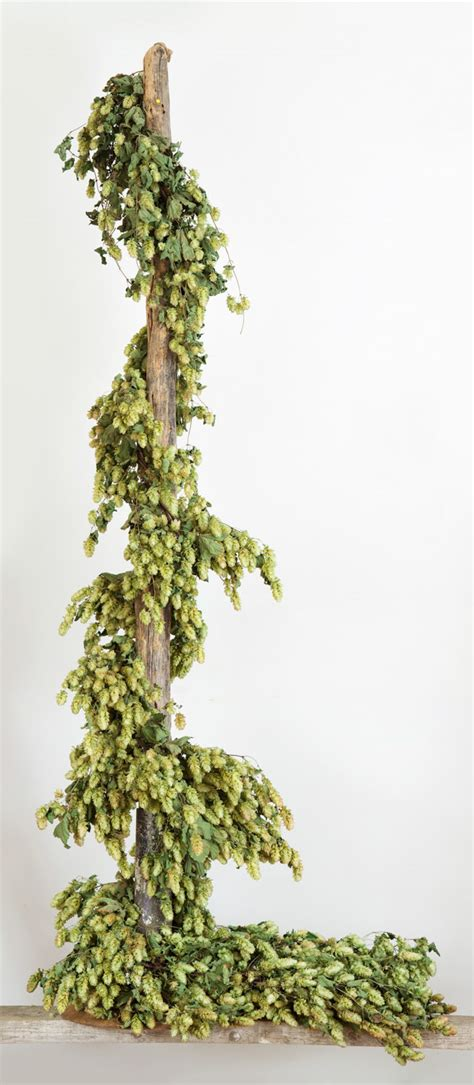 Vines For Decoration by Dried Hop Bine The Hop Shop