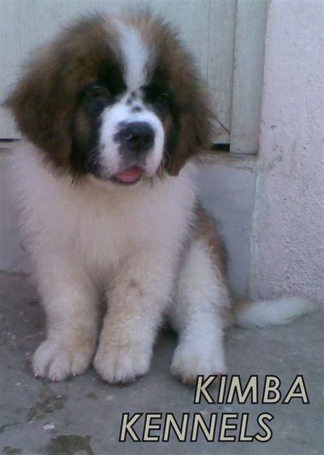 bernard puppies for sale st bernard puppy adoptions in ohio breeds picture