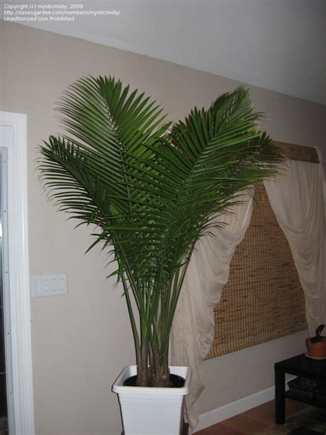 article indoor palms selecting  caring