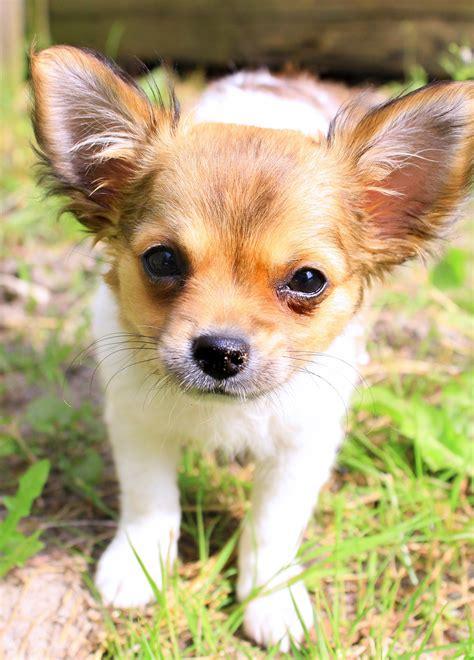 Coklat Imut gambar rambut anak anjing hewan imut bulu coklat