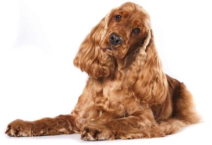 30 breeds that are good house dogs perfect for families 30 breeds that are good house dogs perfect for families