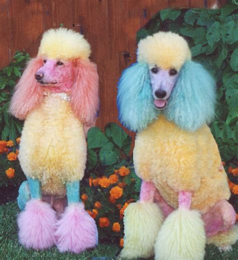 poodle colors never leave children alone with leftover easter egg