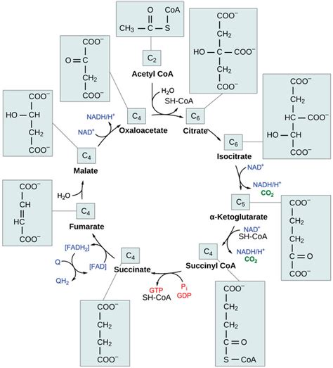 amino 1 hydration and recovery1010101020101010101000100 361 oxidation of pyruvate and the citric acid cycle