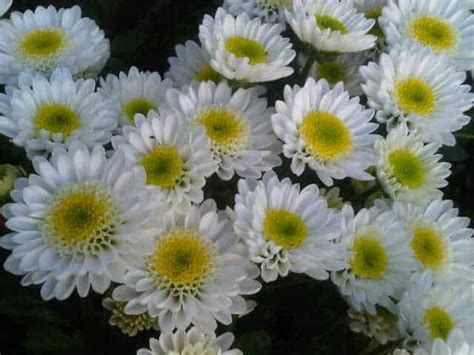 Jual Bibit Bunga Aster Dan Krisan tanaman hias murah dan cantik bibit
