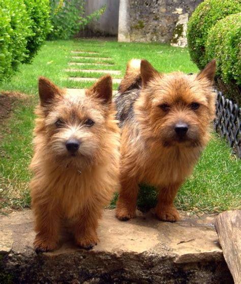 norwich terrier puppies norwich terrier