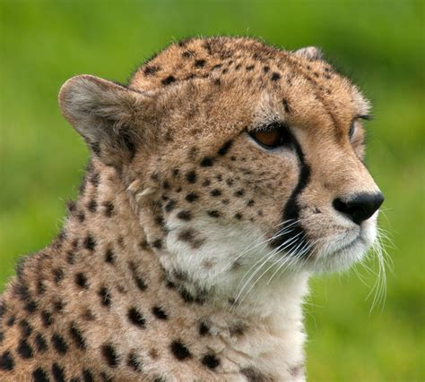 cheetah  animals hd wallpapers
