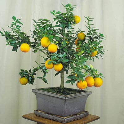 2 Cherry Bonsai Benih Biji Seeds bonsai orange tree indoor plants