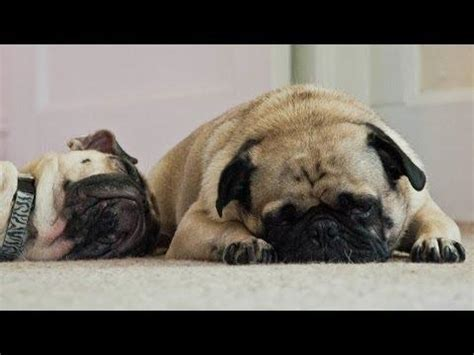 pug going up stairs compilation of pugs snoring