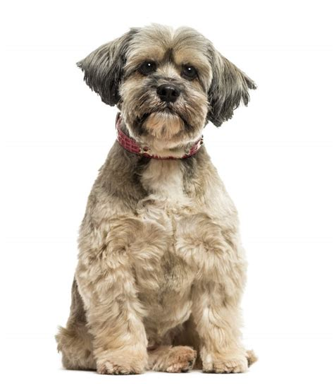 lhasa apso puppy cut lhasa apso dogs breed information omlet