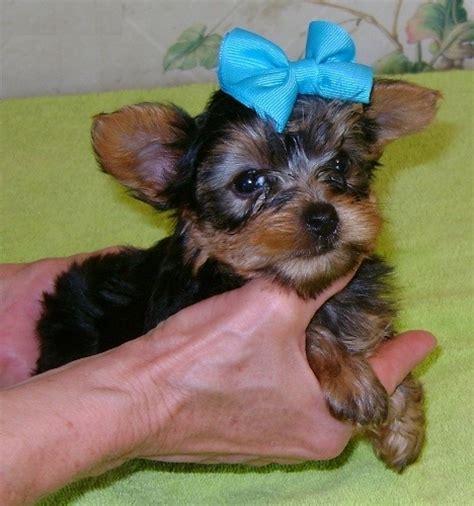 yorkie puppies winnipeg teacup terrier puppies