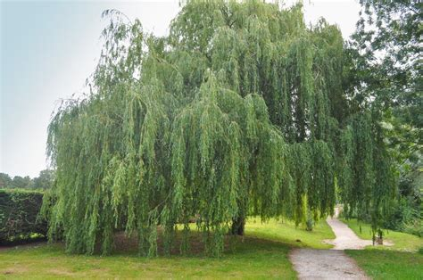weeping trees a list of fast growing trees with pin worthy pictures
