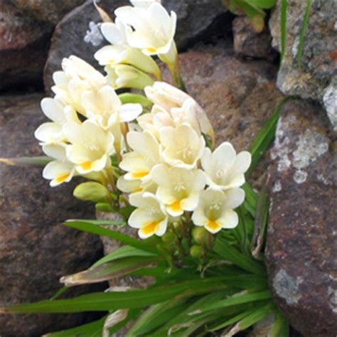 fresia fiore fiori di fresia
