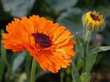 fiore di calendula calendula calendula officinalis piante aromatiche