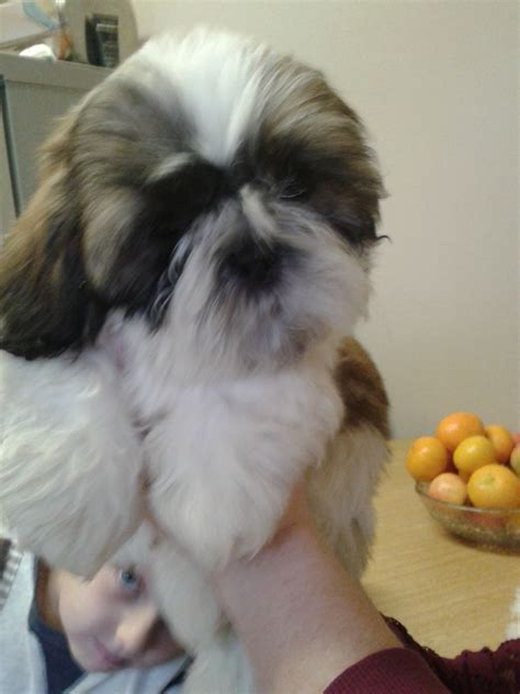 craigslist shih tzu puppies craigslist pomsky pomsky puppies gallery breeds picture