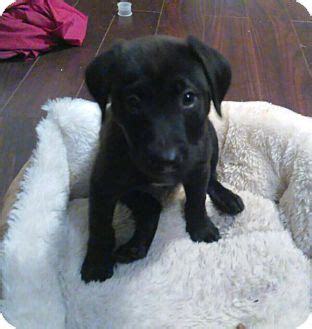 lab puppies for adoption in nj allentown nj labrador retriever mix meet zack a puppy for adoption