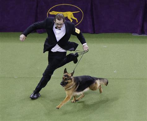 rumor german shepherd rumor the german shepherd wins best in show at westminster the spokesman review