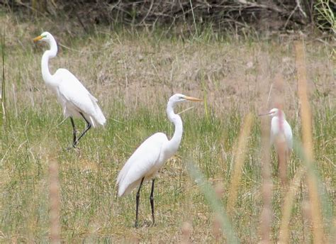 Galerry difference between egret and crane