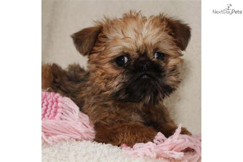 teacup brussels griffon puppies for sale brussels griffon puppies for sale breeds picture