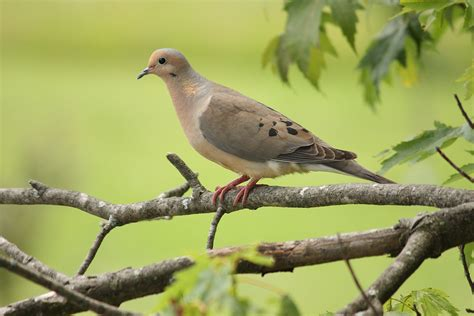 mourning dove song of america birdseed