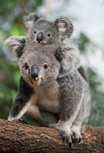 les meilleures photos et vid 233 os de b 233 b 233 koala archzine fr
