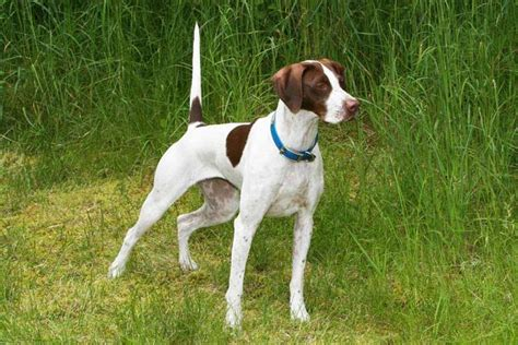 laser pointer for dogs montana pointers
