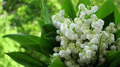 fiore mughetto mughetti piante perenni pianta mughetto