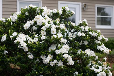 gardenia delivery buy gardenia gardenia crown jewel pbr delivery by crocus