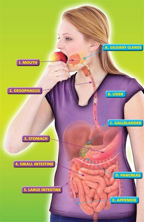 gastrointestinal food 81 best images about keeping healthy on skeletal and muscular system food