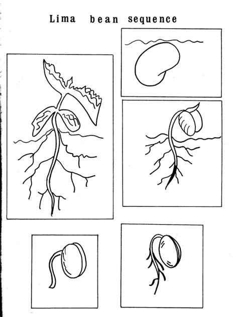 free coloring pages of germination of seeds